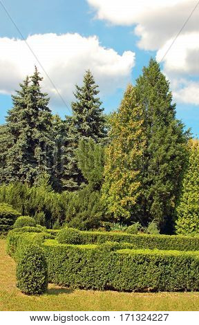 Clipped Buxus And Fir Tree