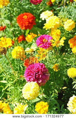 Tagetes And Zinnia In Flowerbed