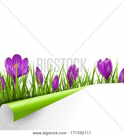 Green grass lawn with violet crocuses and wrapped paper sheet isolated on white background. Floral nature spring background