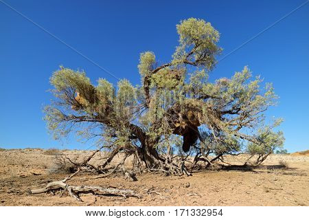 African thorn tree with large communal nests of sociable weavers, Kalahari desert, South Africa