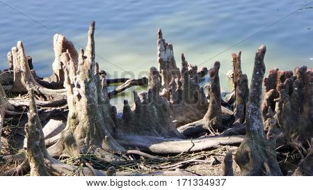 Cypress stumps in the summer swamp water
