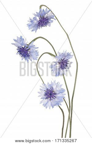 Cornflowers Bouquet Isolated
