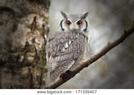 A close up portrait of a white faced stops owl perched in a tree and looking directly down towards the camera