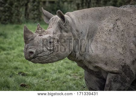 A close up half length profile image of a rhino staring left with mud and dirt on its hide