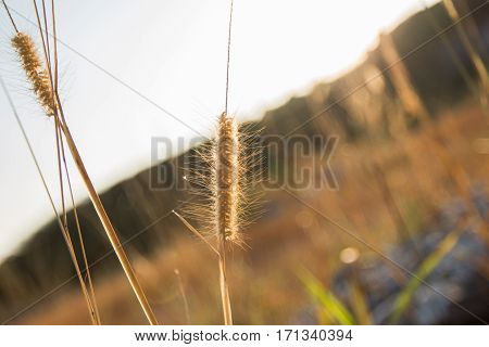 Brown poaceae grass flower use for background