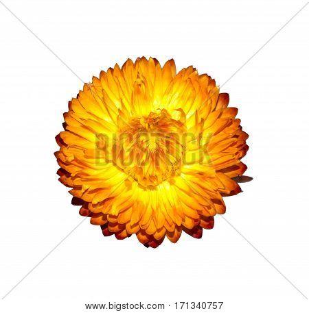 Dry Xerochrysum bracteatum flower isolated on white background. Yellow dry Helichrysum Strawflower.