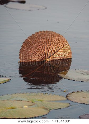 Golden Color Lotus Or Water Lily Leaf In The Swamp