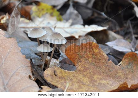 Group of small mushrooms growing between leaves on forest floor