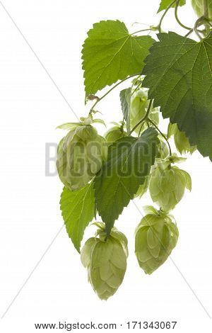 Hop isolated on white background. Natural background.
