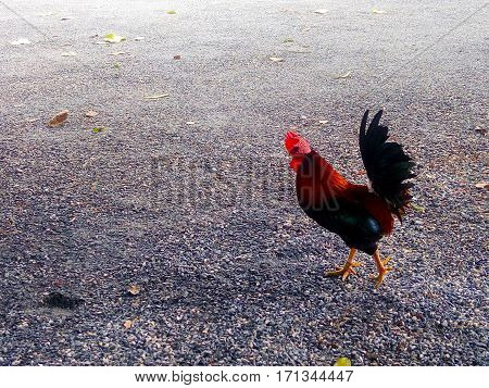 Roosters are pretty hairy prance around in the temple.