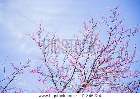 Beautiful Blooming Spring Cercis Branches With Tender Pink Flowers