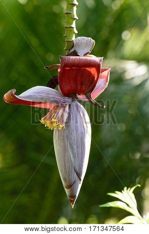 An Unblown banana flower on a branch