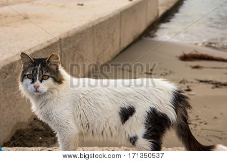 Wild beach cat with black and white spots posing face on at the seashore Mediterranean Spain autumn afternoon close up