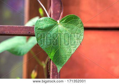 Birthwort or Aristolochia is poisonous climbing plant