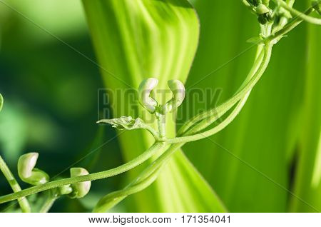 bean sprout and flower in the spring the agricultural natural background