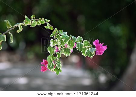 bougainvillea pink flowers with variegated leaves in the park