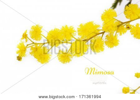 Branch of mimosa isolated on white background