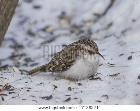 Small bird Eurasian or Common Treecreeper Certhia familiaris close-up portrait on snow under tree selective focus shallow DOF