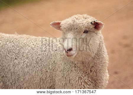 Australian Sheep Grown For Meat And Wool