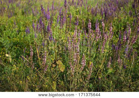 Sage medicinal Salvia officinalis grows on a meadow