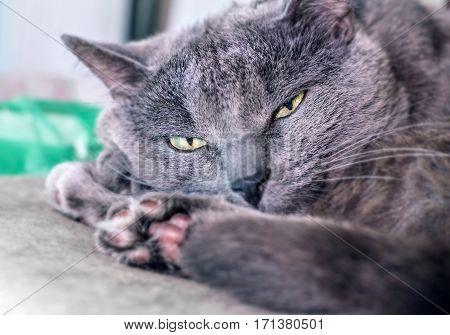 Adult grey cat with yellow eyes half asleep