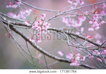 Sakura Flower or Cherry Blossom With Beautiful Nature Background.Cherry blossom, Cherry sakura blossom against blue sky. Spring Cherry sakura blossom flower tree blossom. Spring flower close up. Spring Cherry sakura blossom. Spring Cherry sakura blossom b