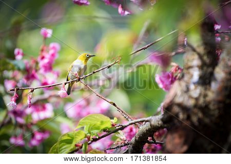 Cute bird Mountain Bulbul and Sakura pink flower Bird on Sakura tree. close up yellow bird at pink flower blossom Prunus cerasoides (Sakura Thailand)