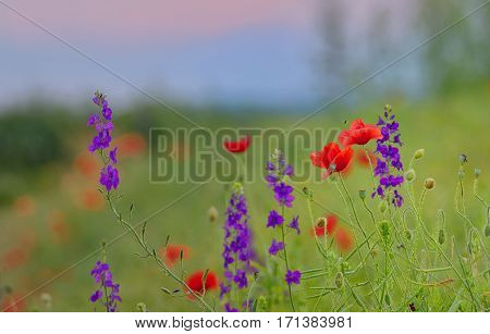 Poppy field in summer countryside, close up
