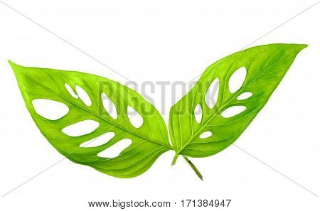 Beautiful Young Green Monstera Leaves (var. Expilata) Isolated On White Background, Close Up