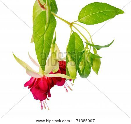 Beautiful Blooming Hanging Twig In Shades Of Bright Red Fuchsia Flower Is Isolated On White Backgrou