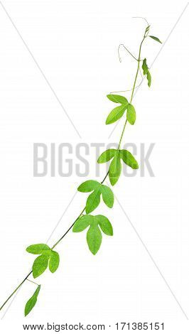 Beautiful Green Passionflower Branch, Maracuja With Tendrils Is Isolated On White Background, Close