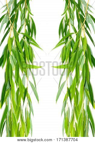 willow branches with leaves isolated on a white background. vertical photo.