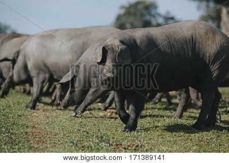 Iberian black pig looking at camera with pigs herd in the background.