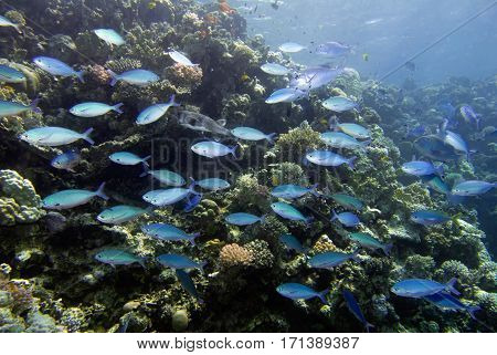 Schooling fish at the coral reef, color image