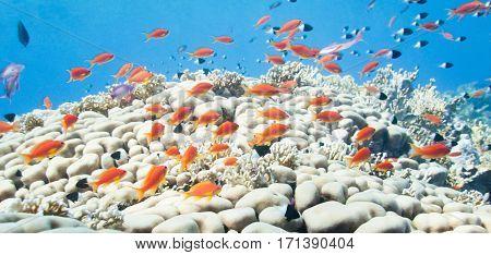 School Of Anthias, Color Image, Underwater, Blue Background