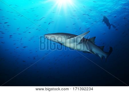 Bonnethead shark with silhouette of scuba diver in beautiful deep water blue