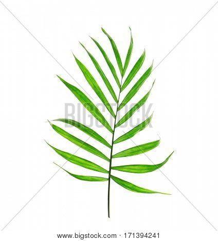 Green leaves of palm tree isolated on white
