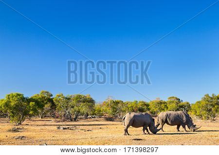 White rhinos grazing in an open field in South Africa