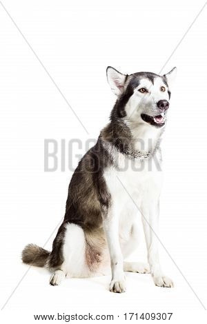 Alaskan Malamute sitting in front of the camera, isolated on white. Beautiful dog