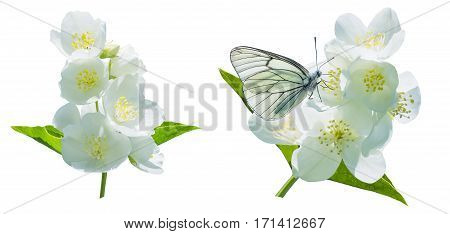 Beautiful blooming branch of jasmine isolated on white background. Branch of blooming jasmine.