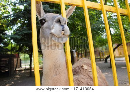close Lama in a zoo. Crimea. summer