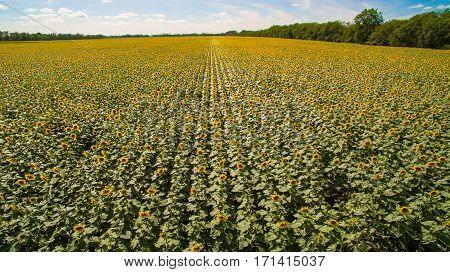 Aerial Sunflowers