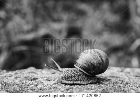 Black and white art photography monochrome snail slides on a wooden surface. Animal. Invertebrates crawling. Shellfish Gastropoda. Gastropod mollusk with a spiral shell. Spiral sink