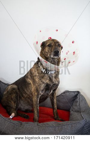 Dog with protective collar, sich dog, operation