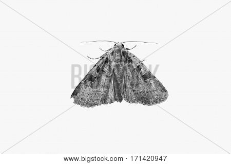 Black and white art photography monochrome moth isolated on white background