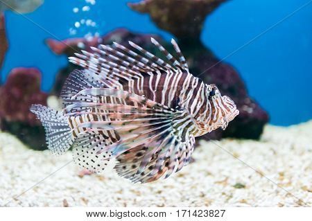 beautiful red lionfish (Pterois miles) portrait swim