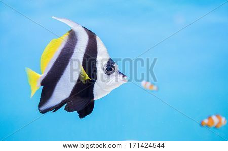 Beautiful Butterfly Fish On Blue Background