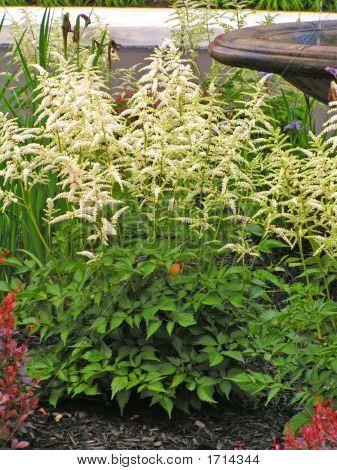 White Plume Flower