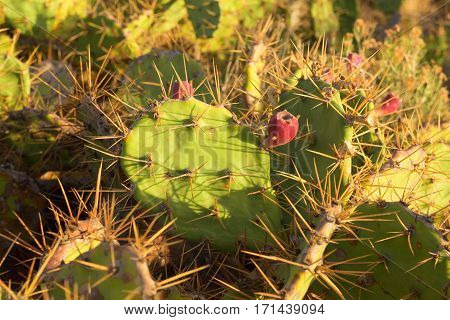 Scenic green-pink cactus with long spines in Canary islands, Tenerife, Spain. Natural background
