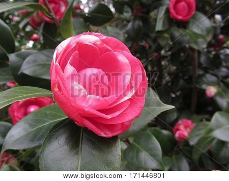 Ancient japanese cultivar of Camellia japonica flower . Flowers are red spotted with white